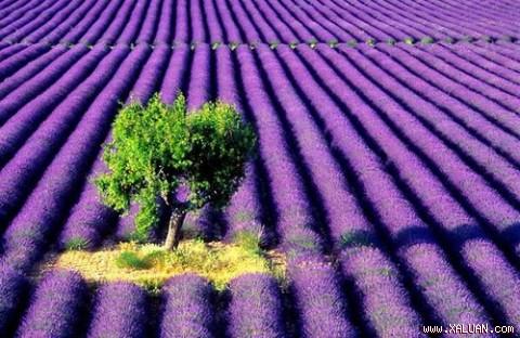 Biêng biếc sắc tím mùa hoa Lavender 1301729444.img