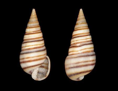 Longchaeus turritus (A. Adams, 1854) V.R POUR AVIS 26-03-18 Pyramidella%20dolabrata%202