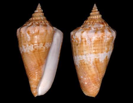 Strombidae Tricornis tricornis - ([Lightfoot], 1786) - Page 2 Strombus%20raninus%202