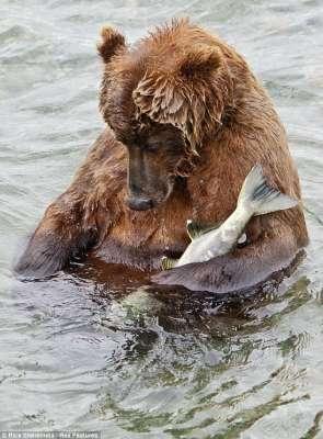 الدب  البني معلومات وصور 9998299420