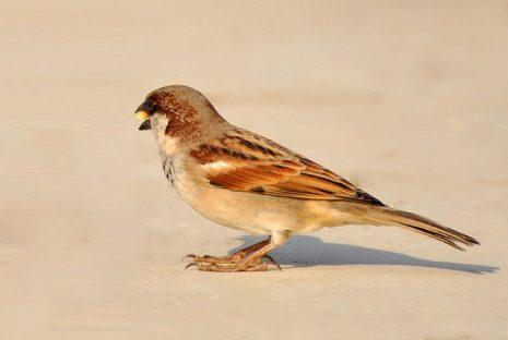 رؤية العصفور او العصافير او الطير والطيور في المنام Sparrow-73308_640-465x312