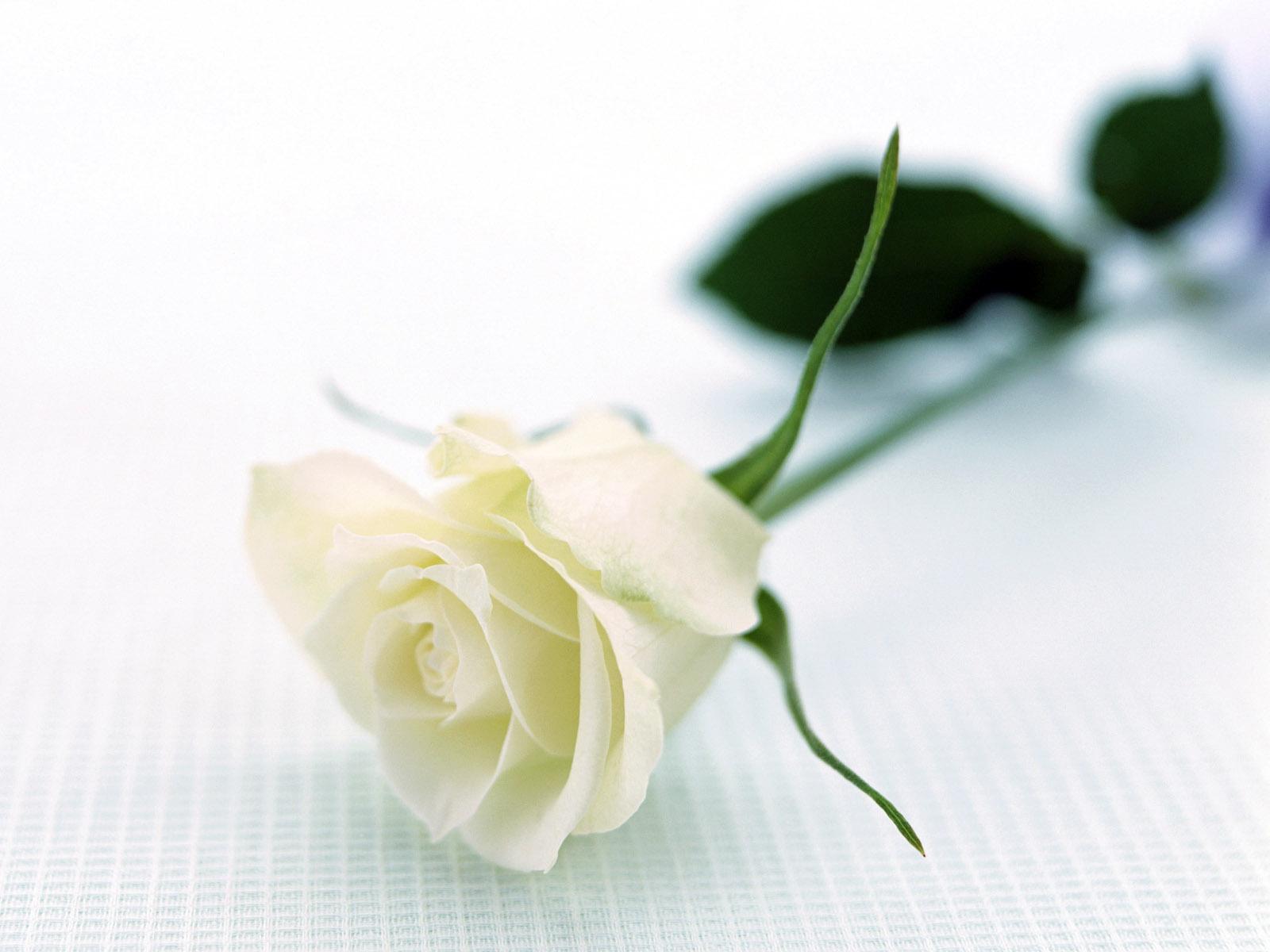 வால்பேப்பர்கள் ( flowers wallpapers ) 01 - Page 12 Nature_Flowers_Resting_Rose__Flowers_008326_