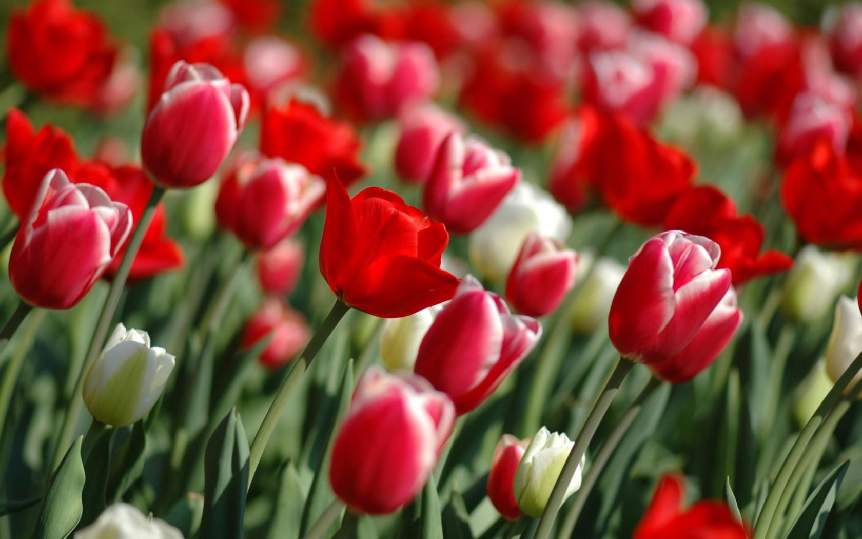 ВЕСНА пришла!!! Nature_Flowers_Tulips_spring__Flowers_008359_