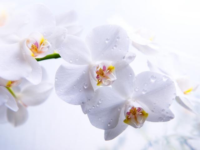 Фотообои в интерьере Nature_Flowers_White_Orchid_035635_
