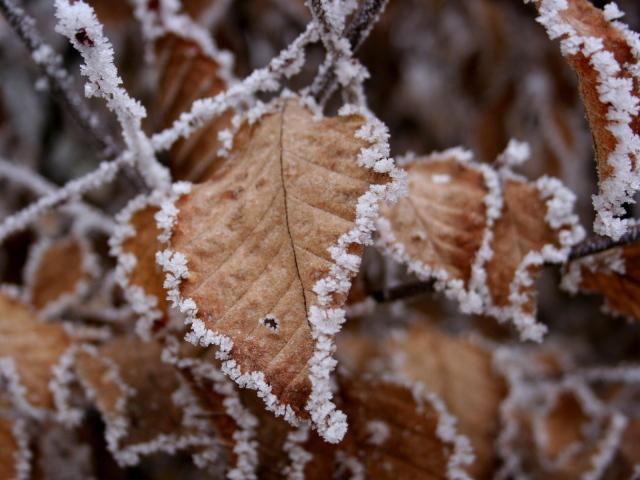 Обои для рабочего стола - природа Winter_Leaves_in_hoarfrost_036981_29