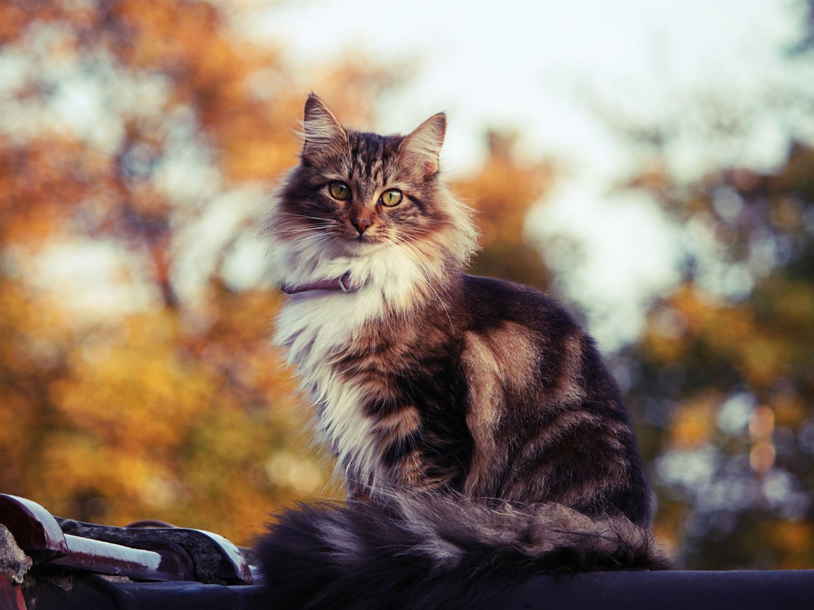 Willowstar |ShadowClan| Animals___Cats_Siberian_cat_outdoors_in_autumn_045664_
