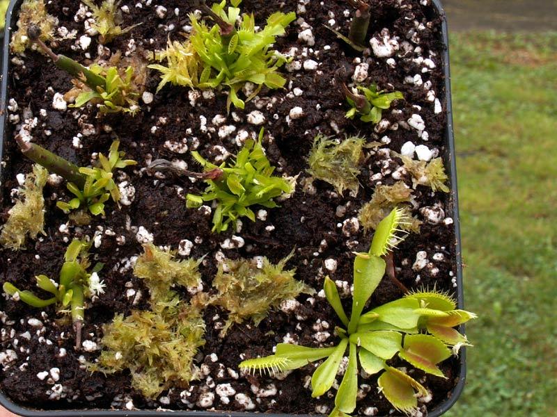 Planter une hampe de dionée - Page 2 Dionee18