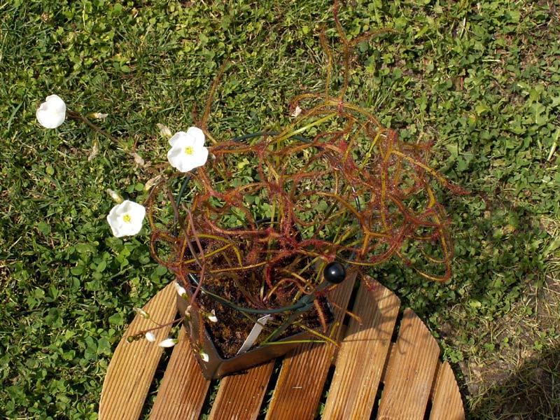 Les différentes variétés de Drosera binata Marston07
