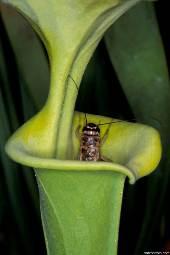 Насекомоядные растения, растения хищники Sarracenia1