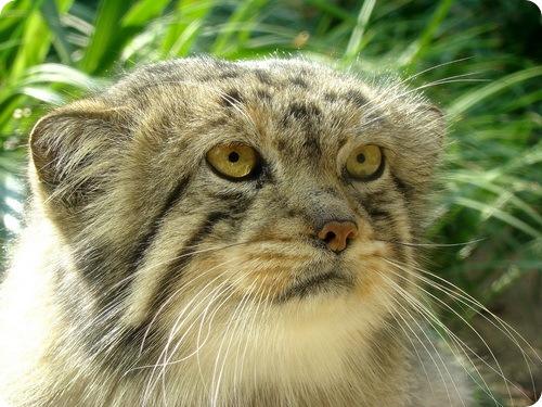 Необычные и редкие породы кошек и собак Manul6