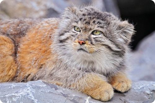 Необычные и редкие породы кошек и собак Manul9