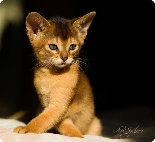 Необычные и редкие породы кошек и собак 145891134