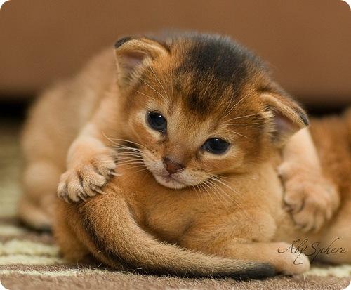Необычные и редкие породы кошек и собак 469462866