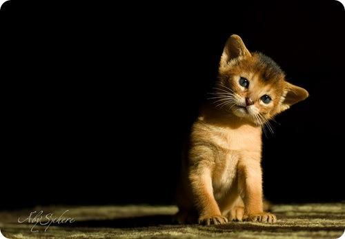 Необычные и редкие породы кошек и собак 847075036