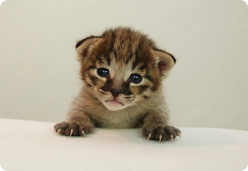 Необычные и редкие породы кошек и собак 4099542565_1610fa84d8