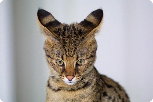 Необычные и редкие породы кошек и собак 436357347838