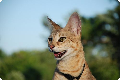 Необычные и редкие породы кошек и собак 4602044579_c79dc1164f