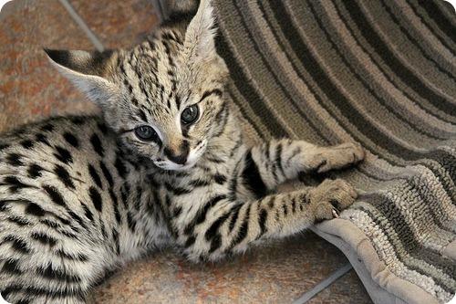 Необычные и редкие породы кошек и собак 4915235977_9d02a483b4