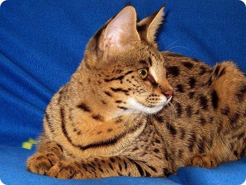 Необычные и редкие породы кошек и собак 5639154744_ff70a17d2a