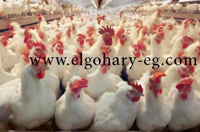 تربيه الدجاج )الجوهري 980320387