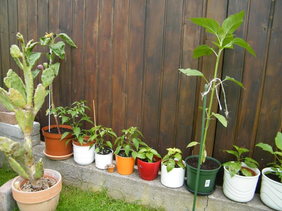 Kübelpflanzen 6dp2bufwycgq