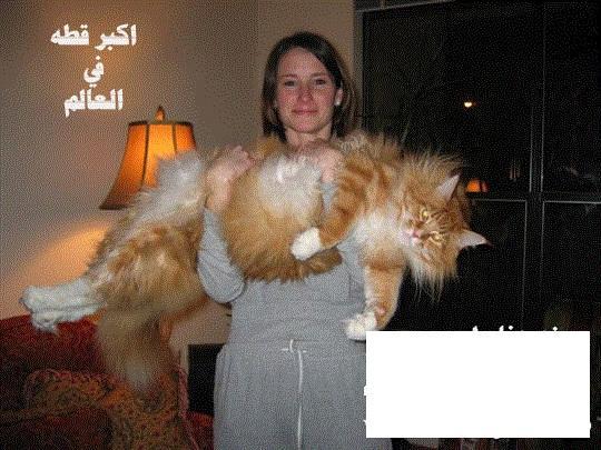 اكبر قطه في العالم  380261231