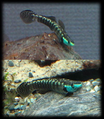 Identification problem in the group of black Stiphodon. Zukan_hayase07