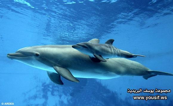 حقائق مذهلة عن الدلافين 189409322
