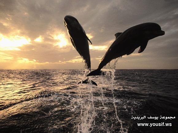 حقائق مذهلة عن الدلافين 912520766