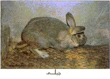 الارنب الجبلي المصري 849749566