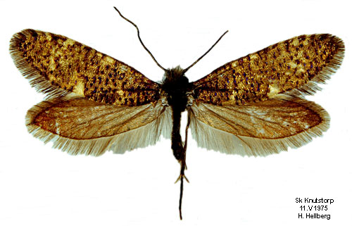 Sưu tập Bộ cánh vẩy  - Page 2 Eriocrania_subpurpurella_male