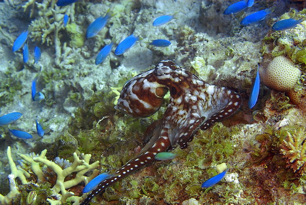 Hobotnica (Octopus cyanea) 920-1441