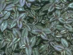 نبات الزينة في المنزل Tradescantia