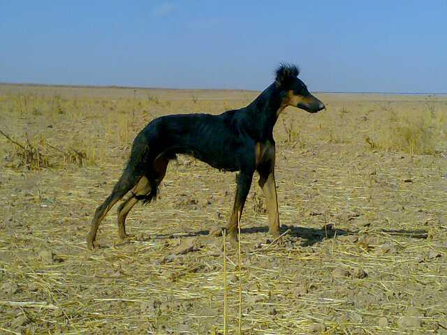 صور كلاب الصيد 663376682