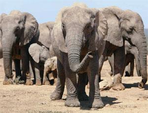 SERVUS - Pagina 4 Elefanti