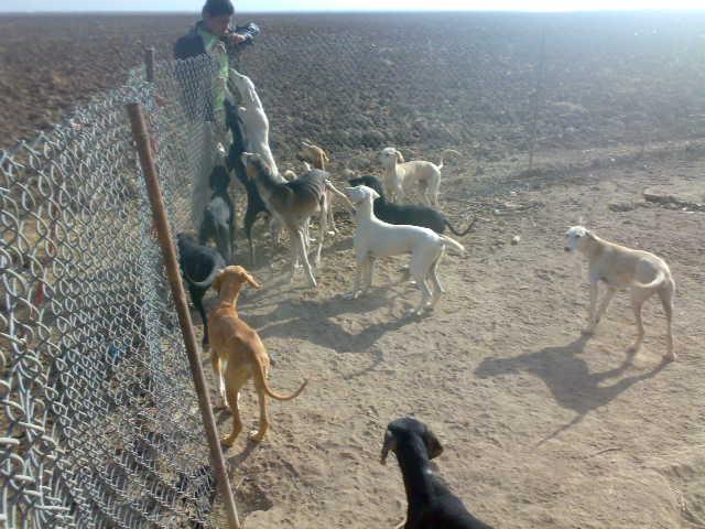سلوقي كلاب الصيد السلوقي للبيع 130031041
