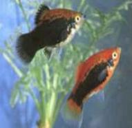 اسماء و أنواع الاسماك الزينة التي يمكن تربيتها بالصور 227120692