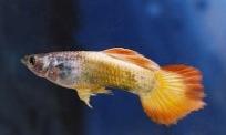 اسماء و أنواع الاسماك الزينة التي يمكن تربيتها بالصور 240760525