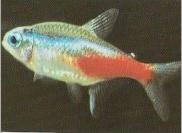 اسماء و أنواع الاسماك الزينة التي يمكن تربيتها بالصور 497732827