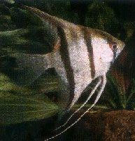 اسماء و أنواع الاسماك الزينة التي يمكن تربيتها بالصور 503775662