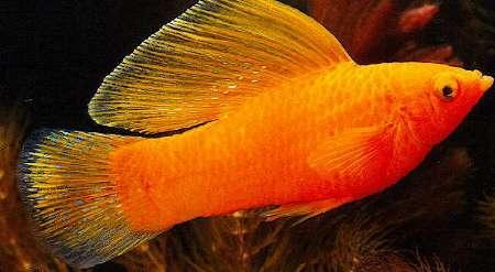 اسماء و أنواع الاسماك الزينة التي يمكن تربيتها بالصور 548927079