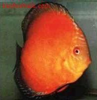 اسماء و أنواع الاسماك الزينة التي يمكن تربيتها بالصور 585883339