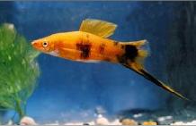 اسماء و أنواع الاسماك الزينة التي يمكن تربيتها بالصور 592667408