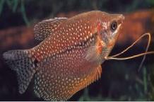 اسماء و أنواع الاسماك الزينة التي يمكن تربيتها بالصور 800900400