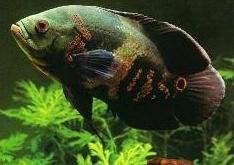 اسماء و أنواع الاسماك الزينة التي يمكن تربيتها بالصور 802647271
