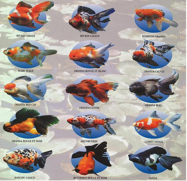 اسماء و أنواع الاسماك الزينة التي يمكن تربيتها بالصور 293372062