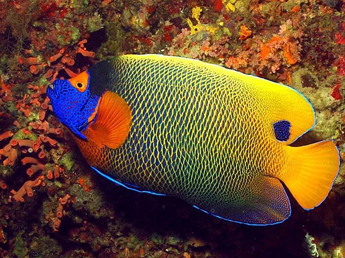 اسماء و أنواع الاسماك الزينة التي يمكن تربيتها بالصور 297820520