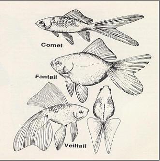 اسماء و أنواع الاسماك الزينة التي يمكن تربيتها بالصور 602064078