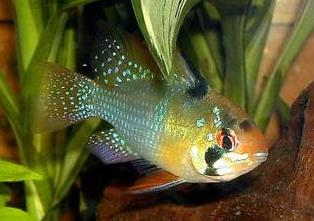 اسماء و أنواع الاسماك الزينة التي يمكن تربيتها بالصور 707301305