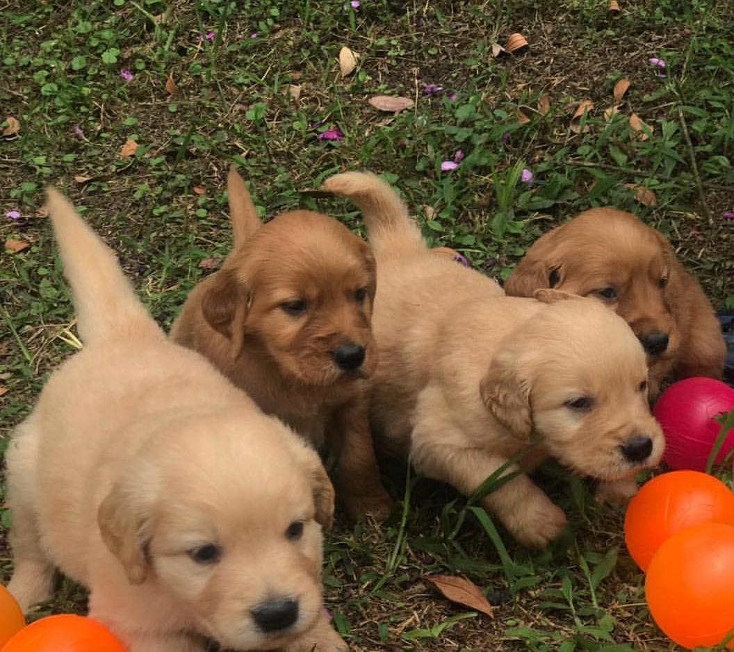 كلاب جولدن ريتريفر صغير للبيع  149739630